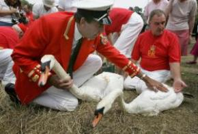 swan upping.jpg.display