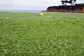 Toxic algae swamps French beach 2011-07-28 21-07-01