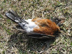 Dead-Birds