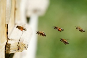 093011_bees