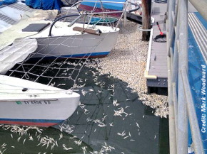 Dead Anchovies at the Santa Cruz Harbor